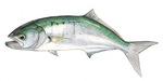 Портрет рыбы породы Луфарь