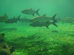 Рыбы Тарпон возле океанического дна