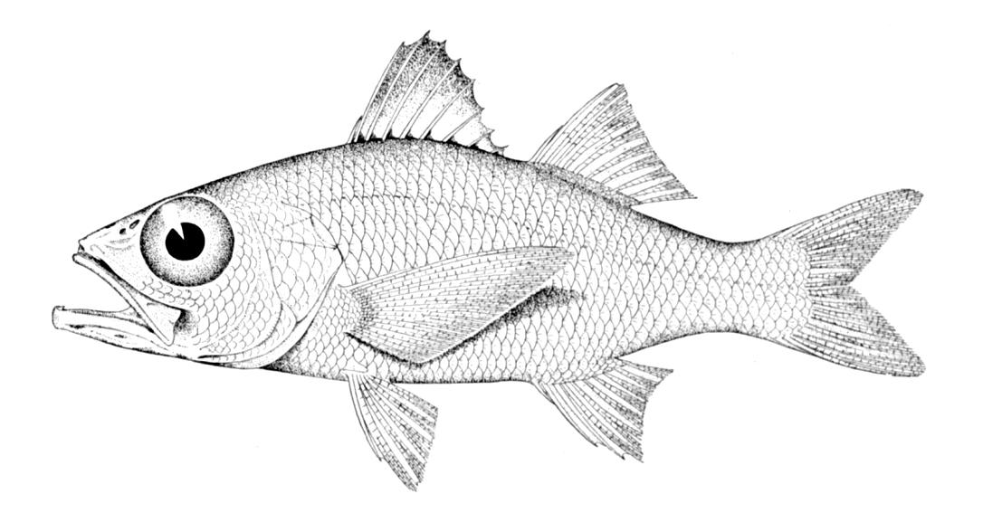 Акропомовая рыба фото