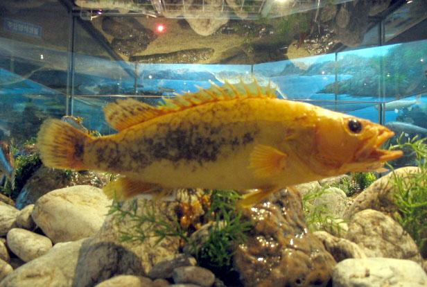 Перцихтовая рыба фото