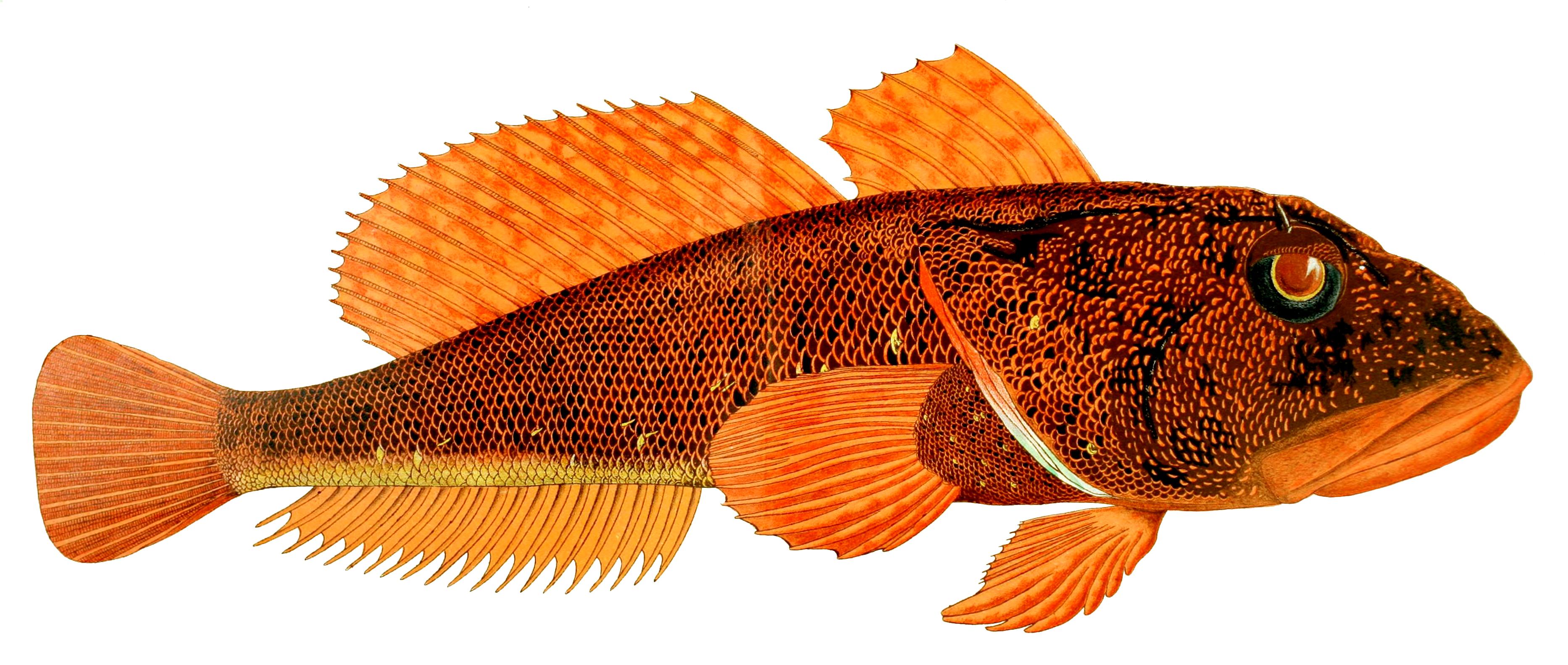 Бовихтовая рыба фото