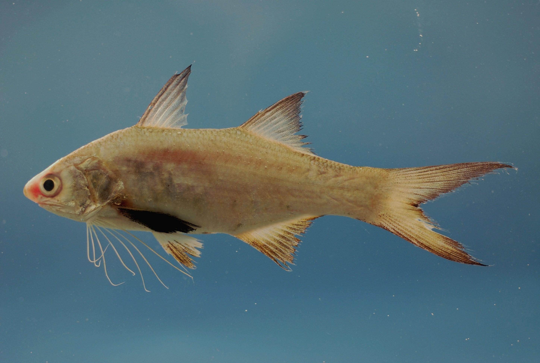 Рыба-бабочка фото