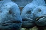 Три рыбы породы Зубатка