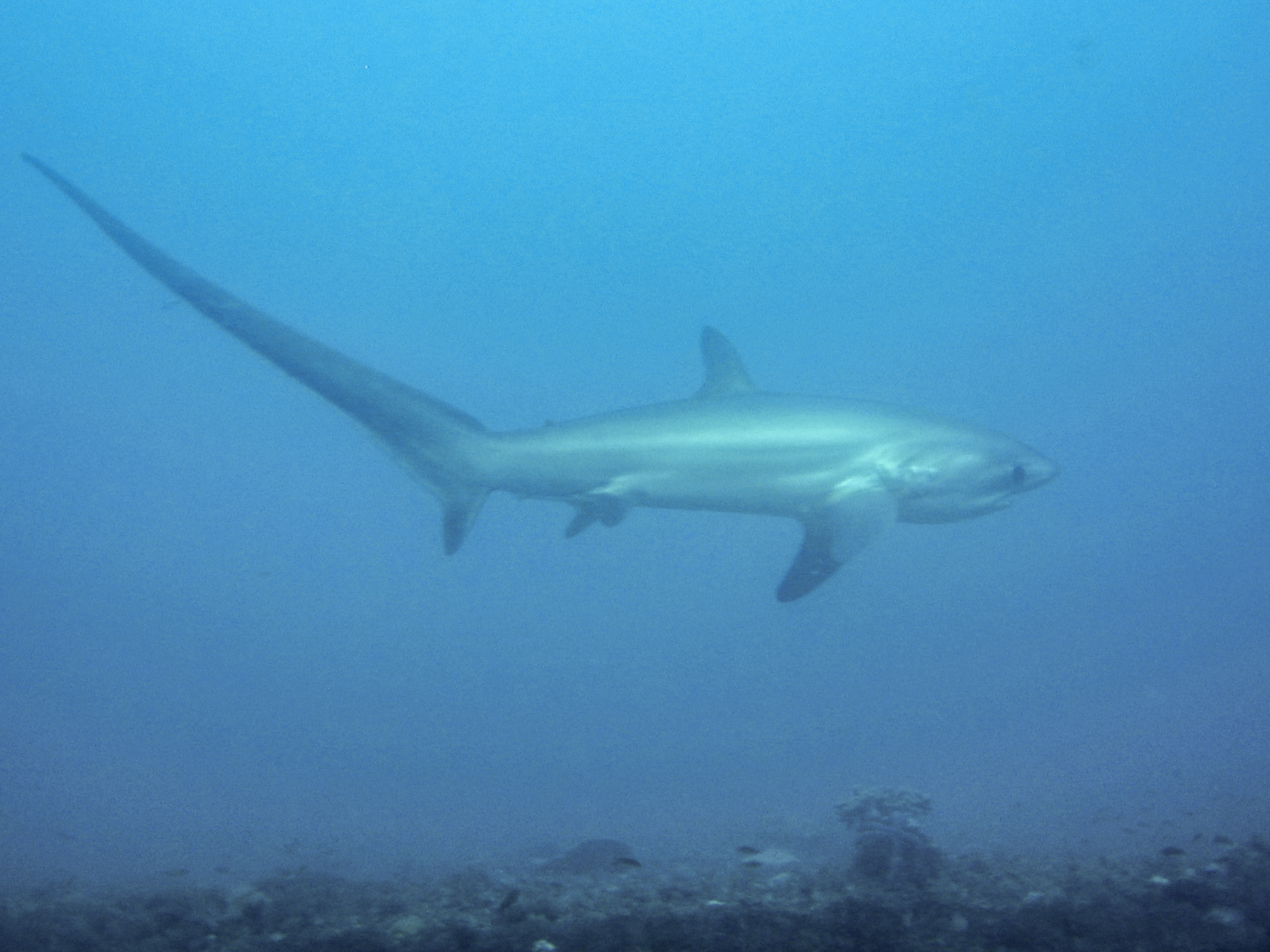 Лисья акула фото