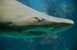 Морда Тигровой акулы