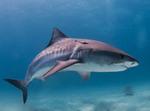 Тигровая акула вид сбоку