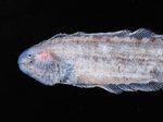 Голова циноглоссовой рыбы