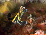 Зубчатолобый морской окунь возле дна