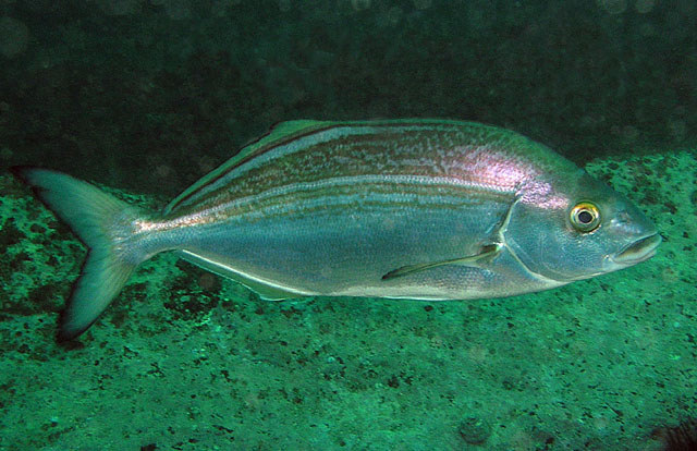 картинка рыба хек