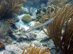 Рыба-флейта среди водорослей