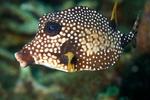 Рыба-чемодан вид сбоку