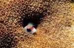 Морская собачка-труба спряталась