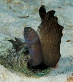 Морская собачка-труба стоит