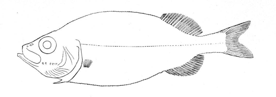 Платитроктовая рыба фото