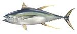 Нарисованный тунец