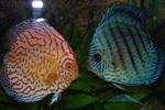 Две красивые рыбки Дискус