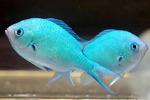 Две красивые рыбы ласточки