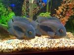 Две рыбы породы Уару