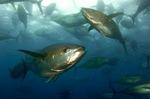 Два Желтоперых тунца
