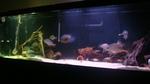 Уару в аквариуме