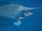 Голова рыбы-единорога