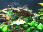 Синодонтис-перевертыш в аквариуме