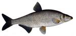 Нарисованный Рыбец