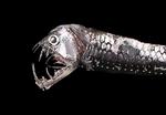 Рыба-гадюка на черном фоне