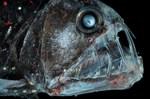 Голова рыбы-гадюки