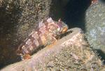 Путешествующая Морская собачка