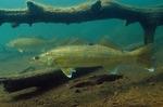 Рыбы породы Судак