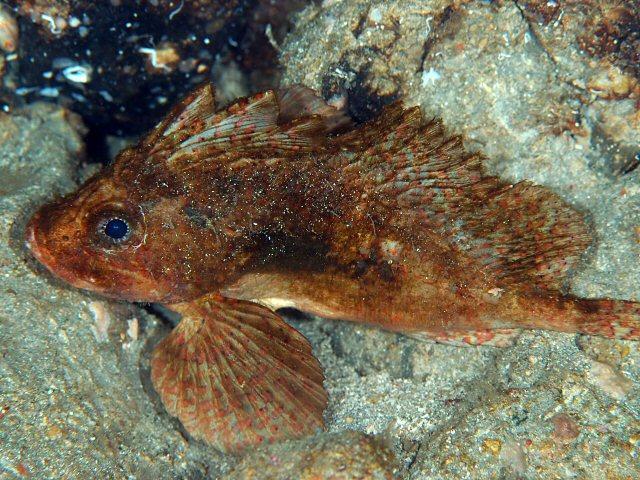 Рыба-оса фото