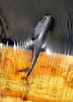 На воде сероспинка