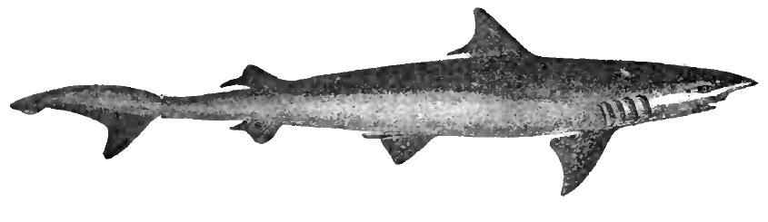 Большеглазые акулы фото