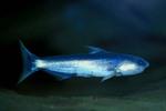 Сом-кит