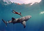 Китовая акула и человек
