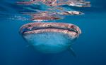 Морда китовой акулы