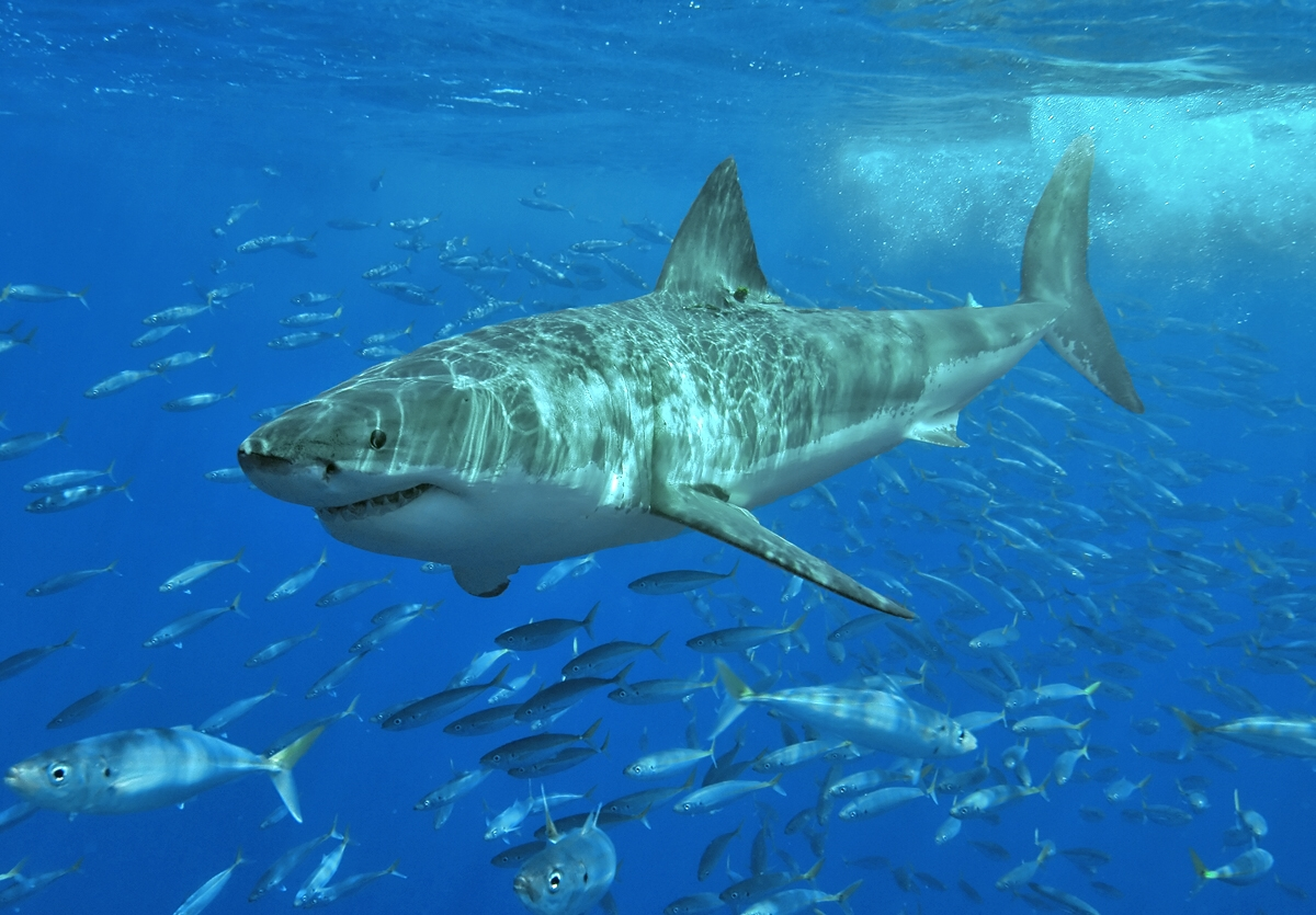 Акула-людоед фото