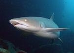Рифовая акула вечером
