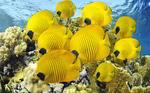Желтые щетинозубые рыбы