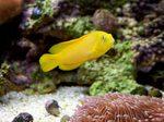 Желтая рыбка Дотти