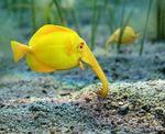 Желтая рыба-слон