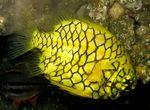 Желтый австралийский шишечник