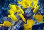 Желтые зебросомы и черепаха