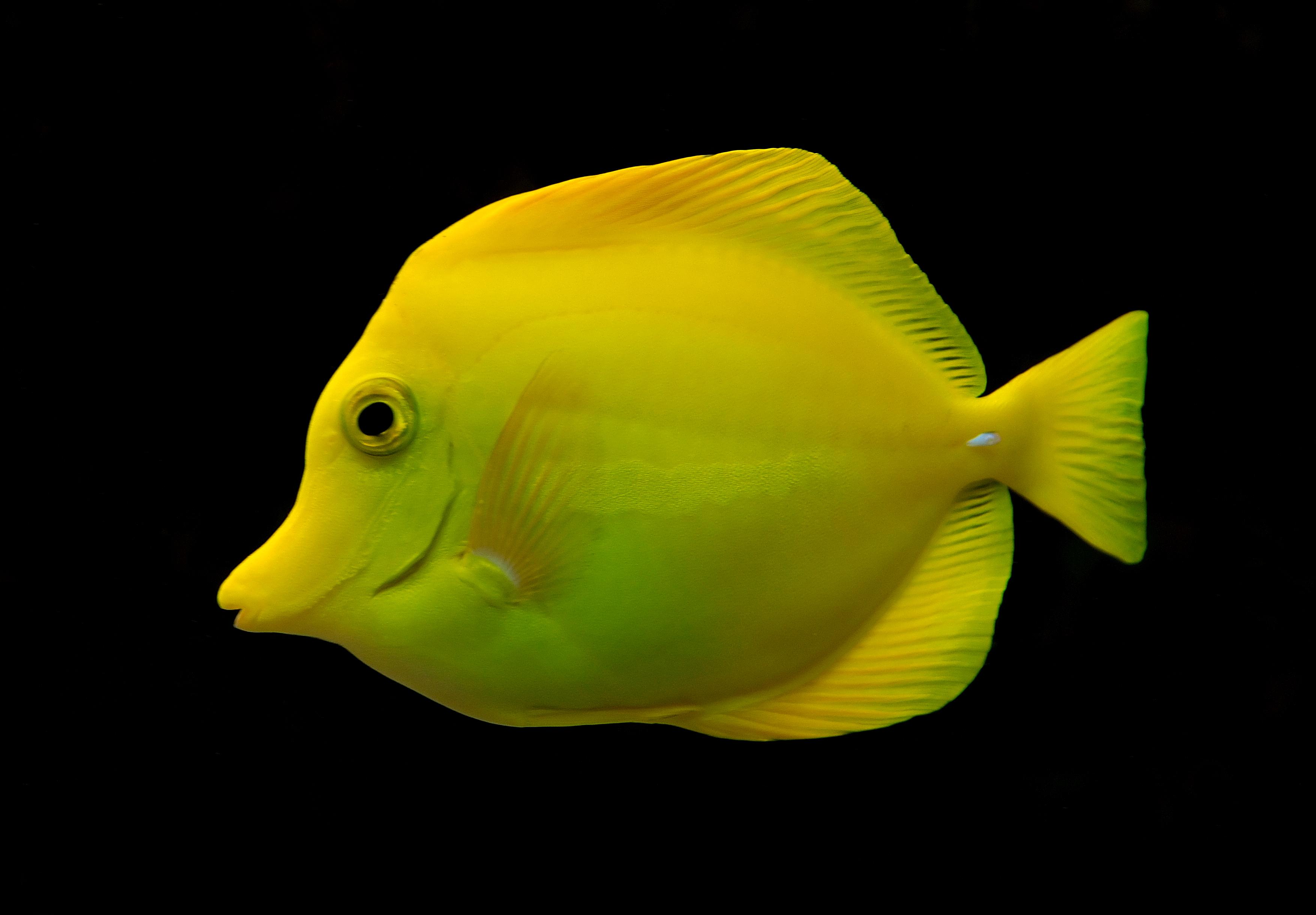 Зебрасома парусная желтая фото