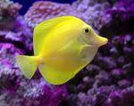 Желтая зебросома вид сбоку