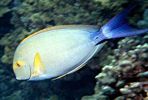 Желтоперая рыба-хирург  фото
