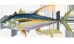 Желтопёрый тунец фото