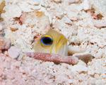 Глаз Желтоголового широкорота