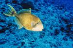 Желтомордая псевдобалиста в синем море